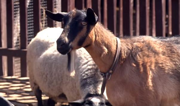 Чешская порода коз - фото