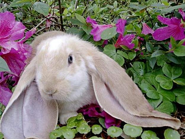 Кролик Английский баран фото