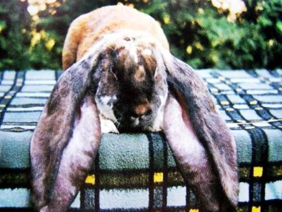Английский баран - порода кроликов фото