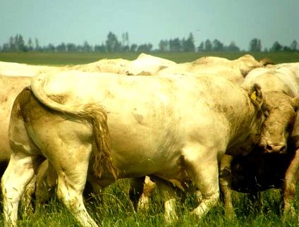 аулиекольская порода коров