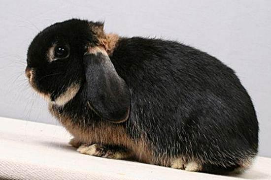 Голландский карликовый баран кролик