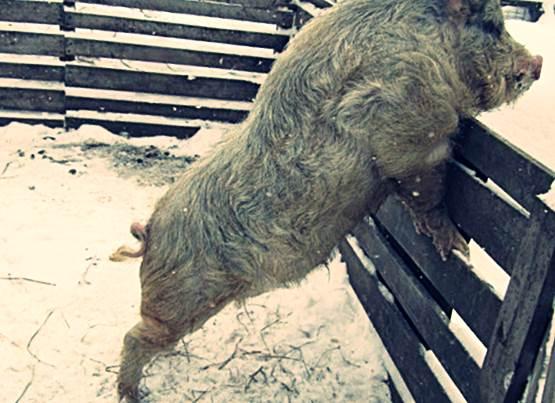 Породы свиней фото - Кармалы