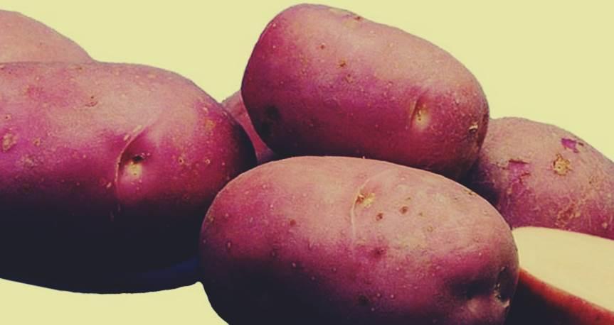 чем они картофель рокко описание сорта фото перевод