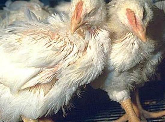 Кокцидиоз куриц - симптомы, лечение, профилактика, фото ...
