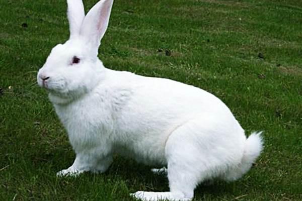 Белые кролики фото - Белый великан