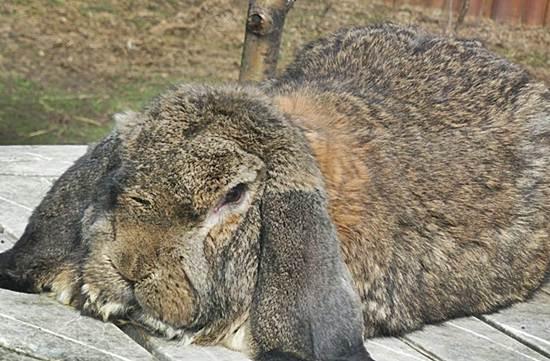 Порода кроликов немецкий баран
