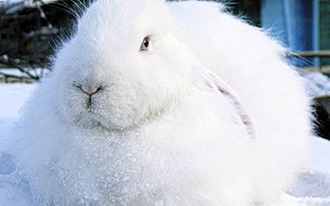 Белый пуховый кролик фото