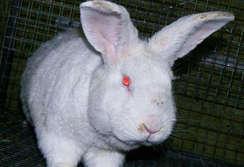 сорта хорошо белый кролик с красными глазами фото можно ободрить