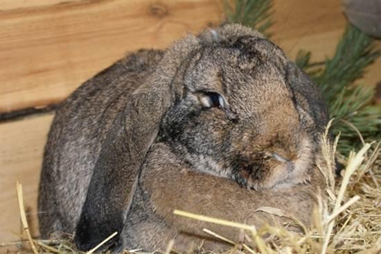 Порода кроликов немецкий баран фото