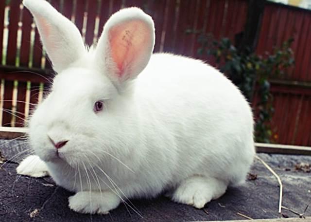 Белый новозеландский кролик фото