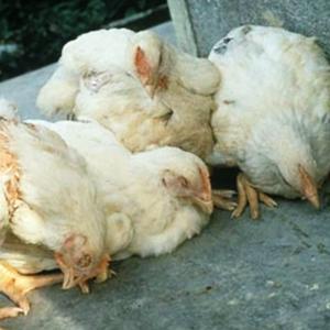 Вакцинация птиц против болезни Гамборо