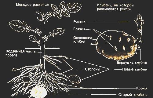 stroenie-kartofelya-1.jpg