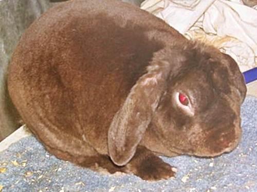 Вельветовый баран - порода кроликов