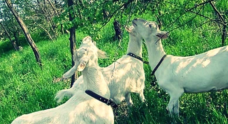 Зааненская порода коз фото