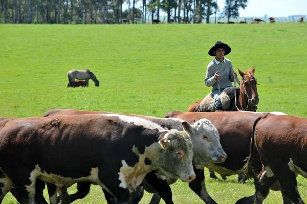 коровы в бразилии