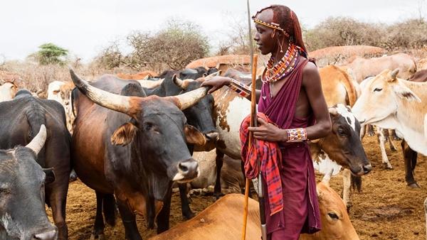 коровы массаи