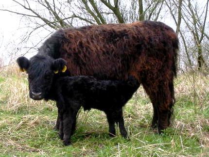 Мясные породы коров - описание, характеристики, фото и видео