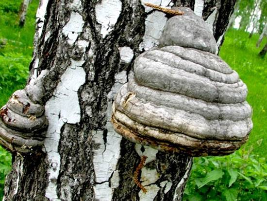 грибы на берёзе фото