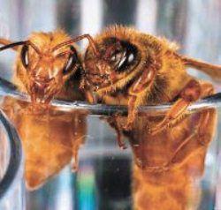Пчелиная матка – королева пчел