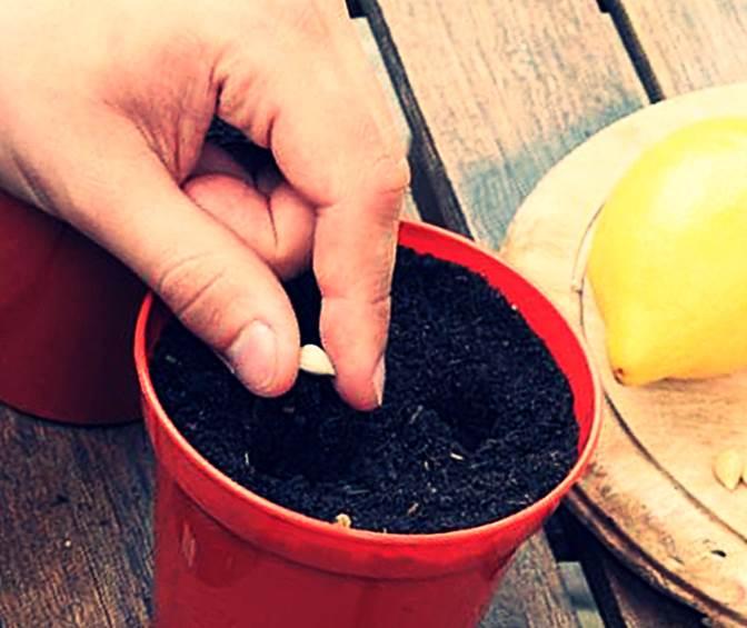 Как посадить лимон в домашних условиях из косточки видео