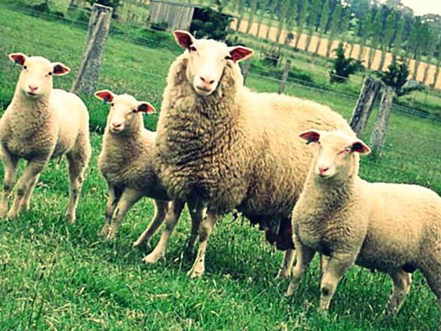породы овец фото с названиями