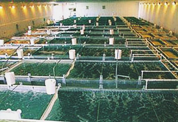 Карп разведение и выращивание 96