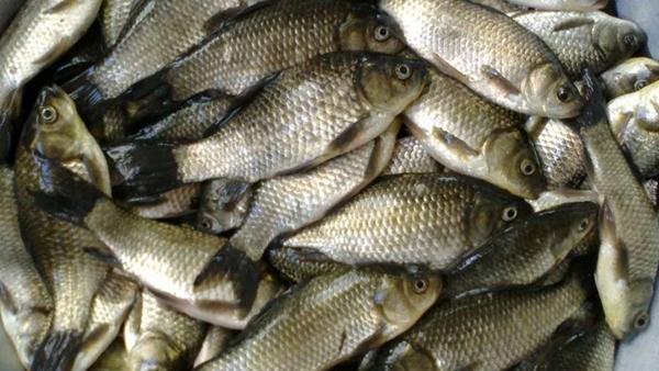 Карась рыба