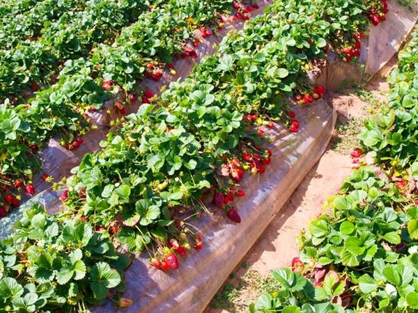 Выращивание клубники в промышленных масштабах как бизнес 25
